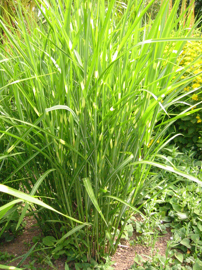 miscanthus sinensis 39 zebrinus 39 the spanish gardener in londonthe spanish gardener in london. Black Bedroom Furniture Sets. Home Design Ideas